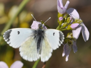 orange tip butterfly, female