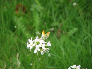 orange tip butterfly, male