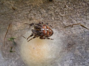 garden spider with eggs