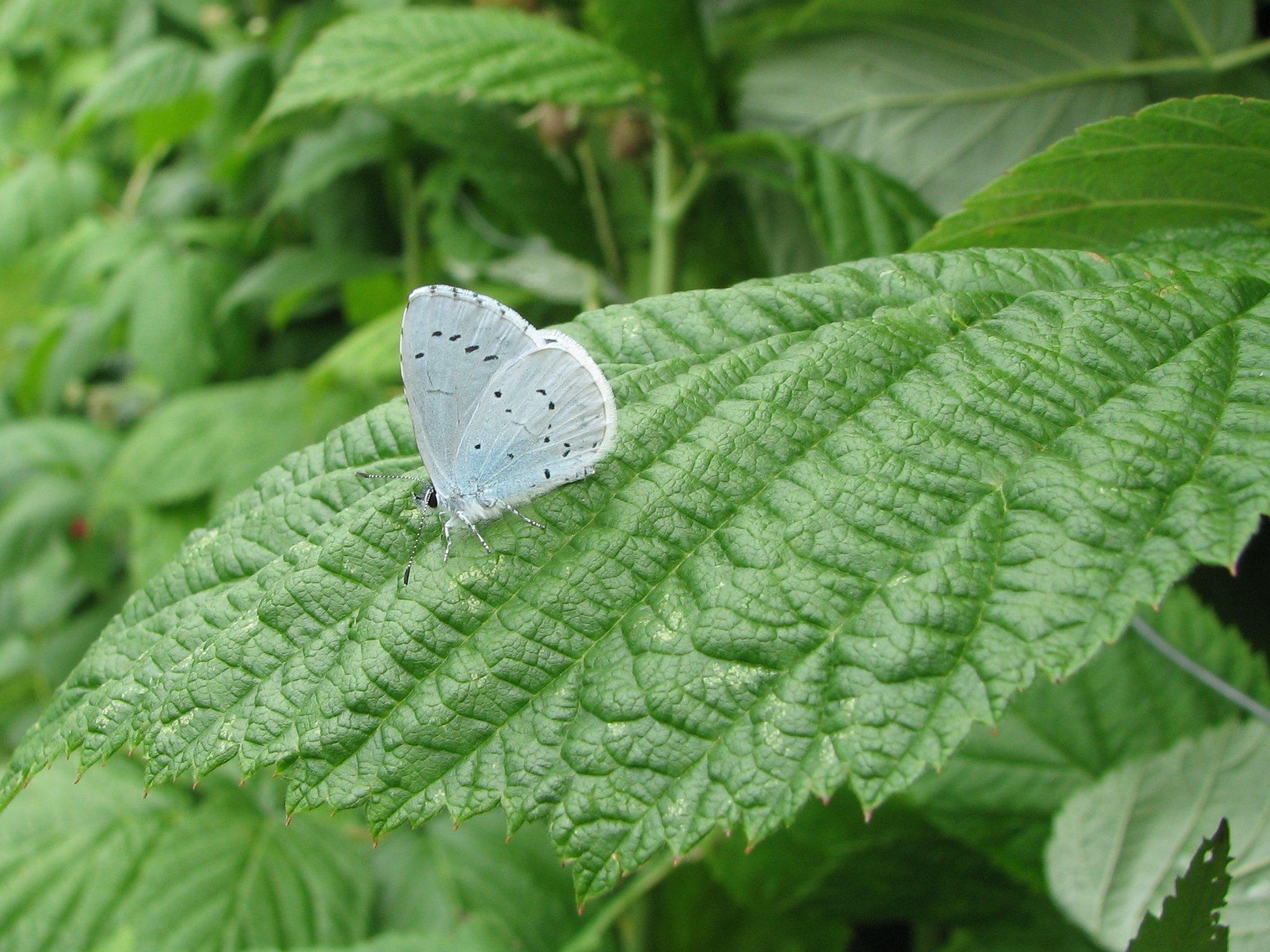 blue butterfly side