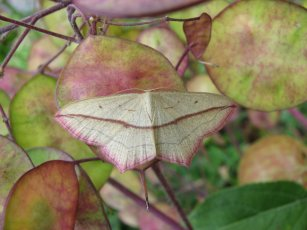 Blood vein moth (Timandra comae)