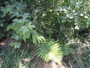 hedge with fern