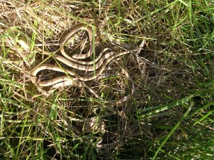 slow worm young (Anguis fragilis)